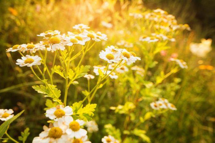 blooms in a field