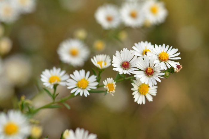 chamomile flowers growing