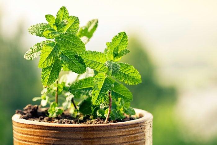 green leafy peppermint plant growing in pot