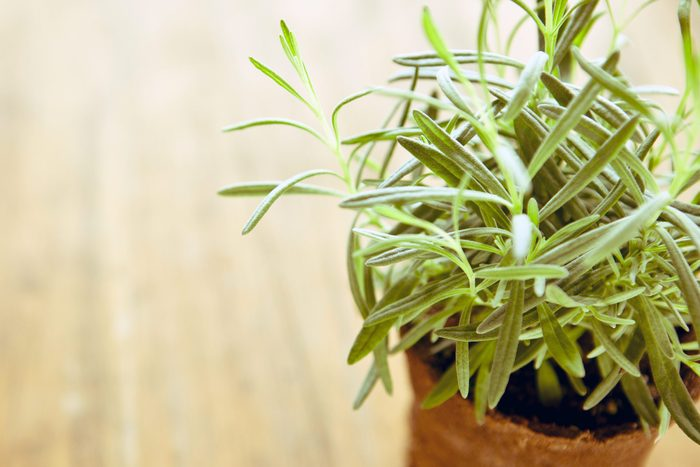pretty rosemary plant growing in pot