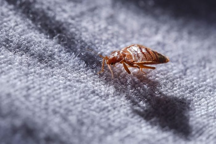 close up of a bed bug on fabric