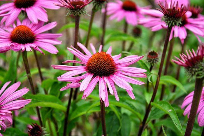Field of flowering echinancea.