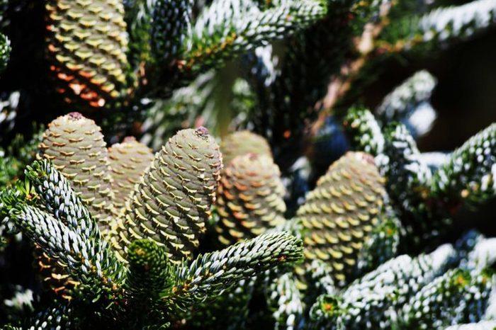 Korean fir pine cones