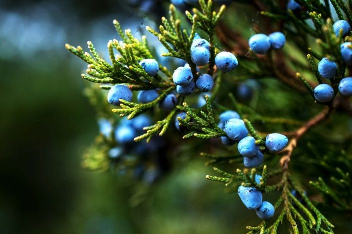 Juniper berries and branches