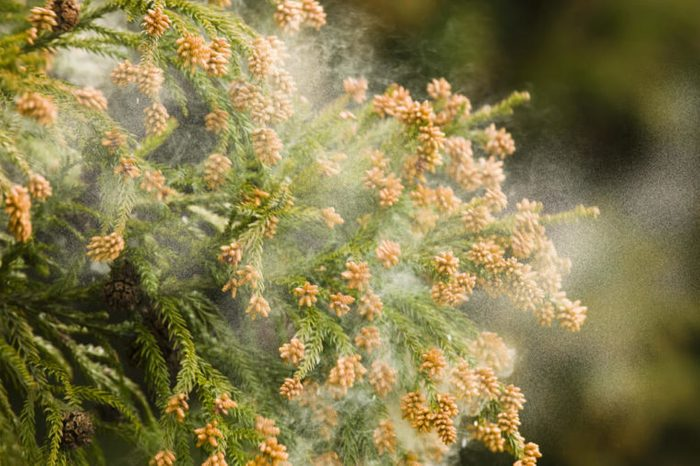Japanese cedar tree pollen