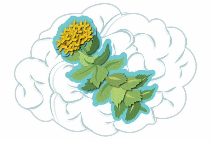 illustration of Rhodiola rosea