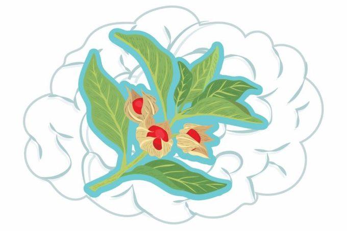 illustration of ashwagandha plant