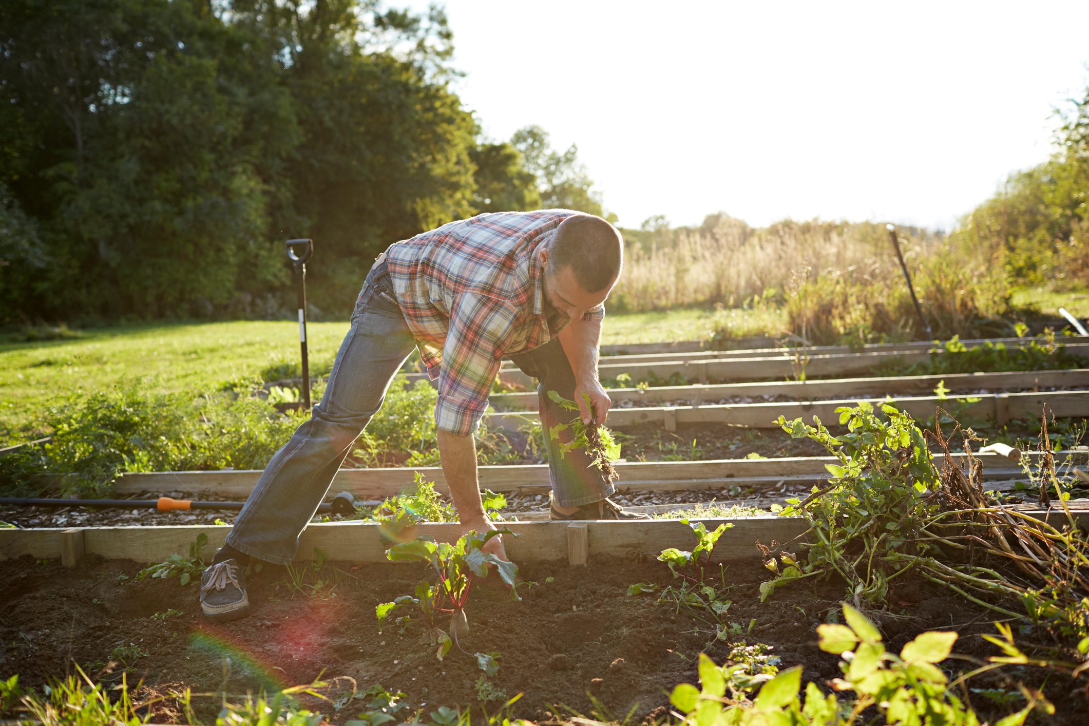 man pulling weeds out of garden