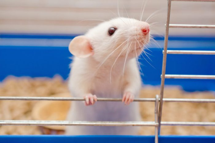 white rat in cage