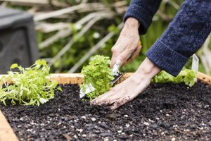 Spring Planting/ planting organic seedlings in a raised garden bed