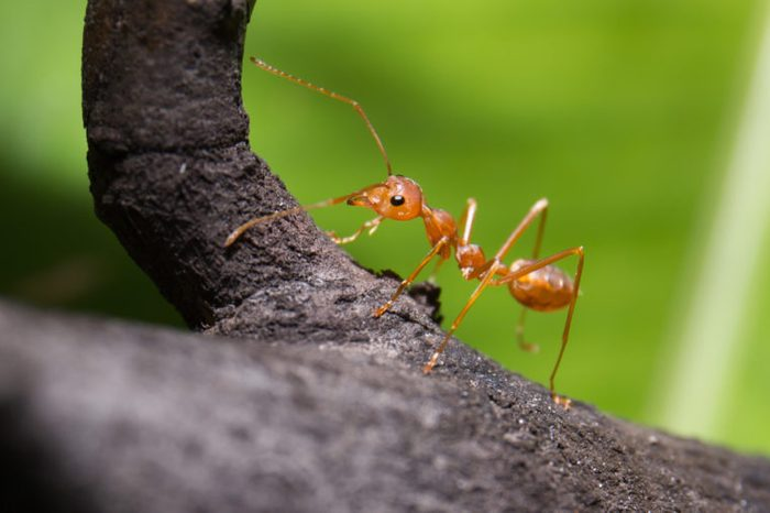 closeup of a red ant on a branch