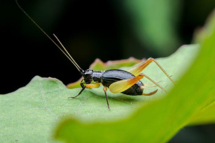 Cricket bug on leaf