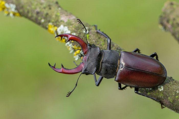 The stag beetle (Lucanus cervus)