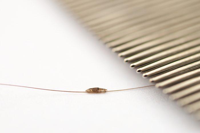 head louse on a hair