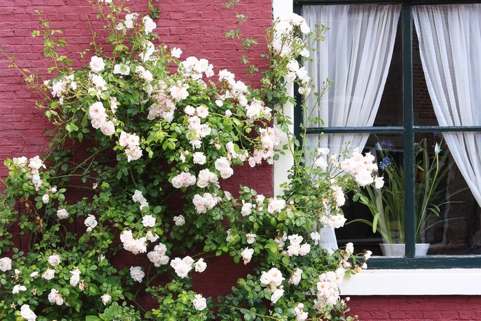 White rose bush in flower against red painted facade of a house