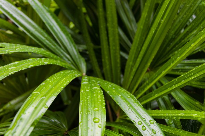 Fresh and green bamboo palm leaves after heavy rain in the early morning