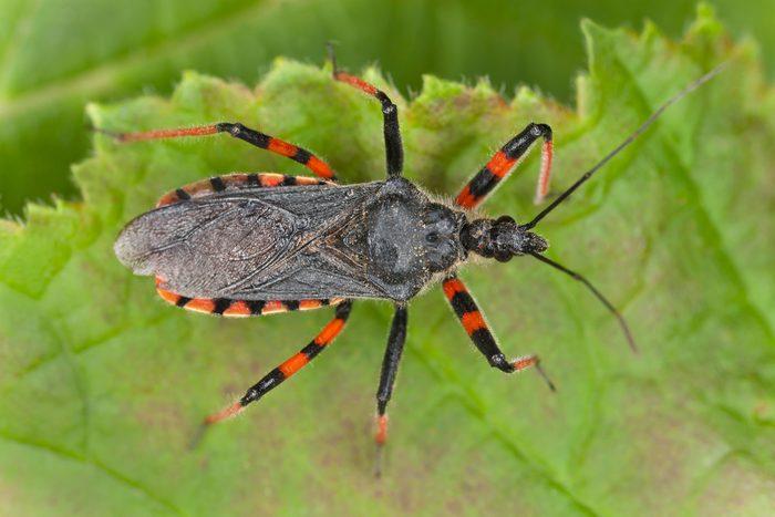 kissing bug up close