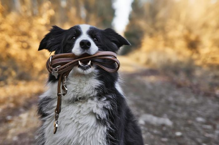 Border Collie Dog is holding a leather leash in its mouth.