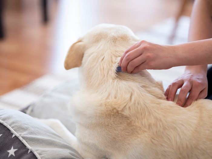 brushing dog for fleas and ticks