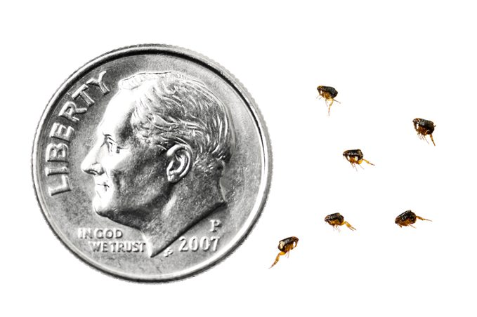 fleas compared to dime