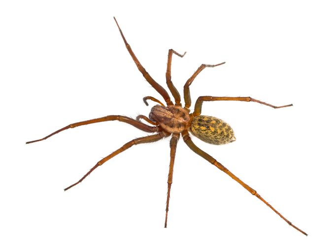 hobo spider shot from above