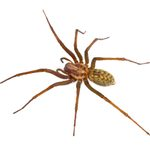 Hobo Spider Bites: Everything You Need to Know