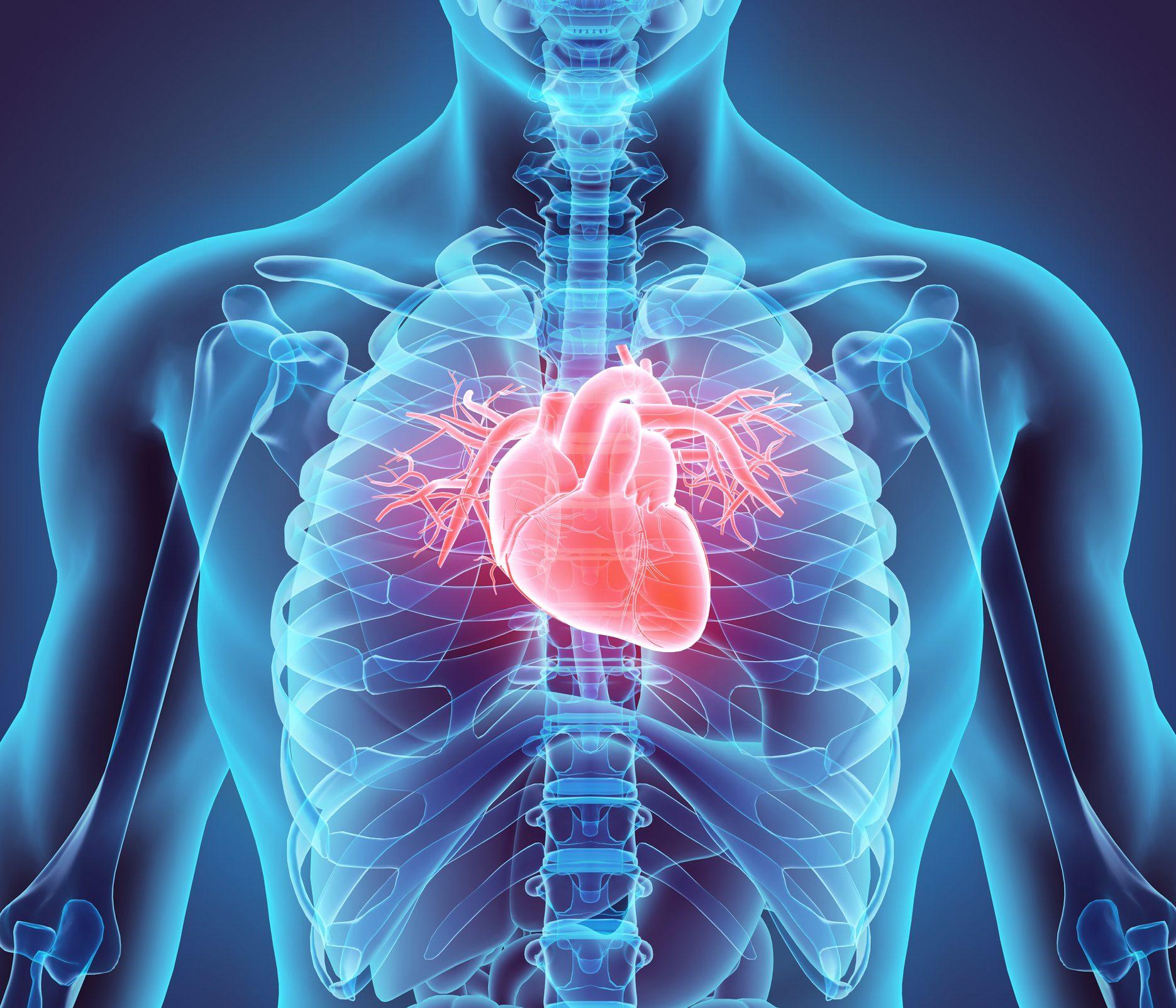 3D illustration of Heart in chest