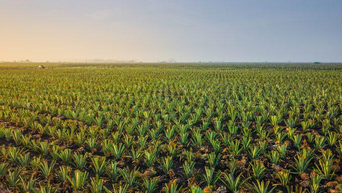 Pineapple field against blue sky